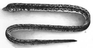 To NMNH Extant Collection (Callechelys lutens P02480 illustration)