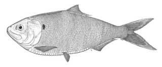 To NMNH Extant Collection (Brevoortia smithi P02170 illustration)