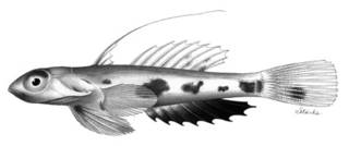 To NMNH Extant Collection (Callionymus rubrovinctus P02342 illustration)