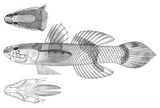 To NMNH Extant Collection (Callogobius philippinus P02356 illustration)