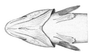 To NMNH Extant Collection (Brosmius brosme P02361 illustration)