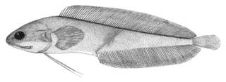 To NMNH Extant Collection (Brosmophyciops pautzkei P02362 illustration)