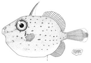 To NMNH Extant Collection (Brachaluteres taylori P07633 illustration)