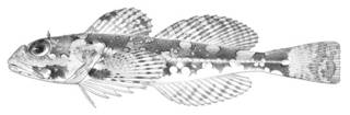 To NMNH Extant Collection (Bero zanclus P10899 illustration)
