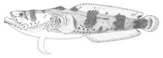 To NMNH Extant Collection (Batrachoides surinamensis P11447 illustration)