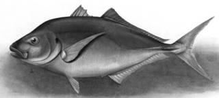 To NMNH Extant Collection (Carangus cheilio P01909 illustration)