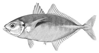 To NMNH Extant Collection (Carangus politus P01928 illustration)