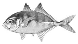 To NMNH Extant Collection (Carangus rhabdotus P01929 illustration)