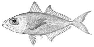 To NMNH Extant Collection (Caranx freeri P01951 illustration)