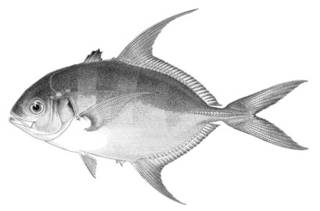 To NMNH Extant Collection (Caranx gilberti P01954 illustration)