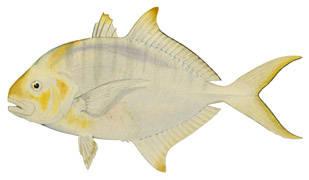 To NMNH Extant Collection (Caranx speciosus P01977 illustration)