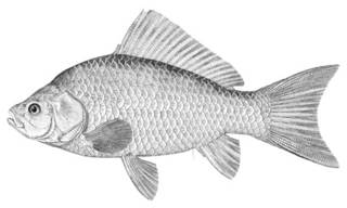 To NMNH Extant Collection (Carassius auratus P02027 illustration)