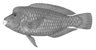 To NMNH Extant Collection (Callyodon oedema P04291 illustration)