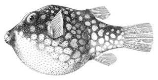To NMNH Extant Collection (Canthigaster jactator P04545 illustration)