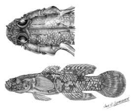 To NMNH Extant Collection (Callogobius flavobrunneus P09711 illustration)