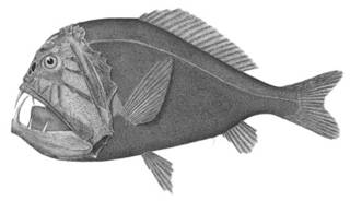 To NMNH Extant Collection (Caulolepis longidens P02593 illustration)