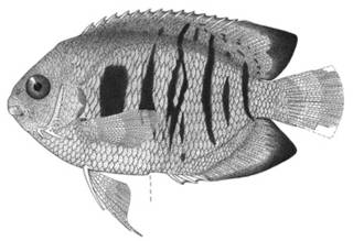 To NMNH Extant Collection (Centropyge flammeus P02630 illustration)