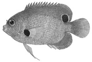 To NMNH Extant Collection (Centropyge nigriocellus P02632 illustration)