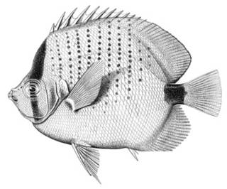 To NMNH Extant Collection (Chaetodon mantelliger P02246 illustration)