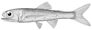 To NMNH Extant Collection (Ceratoscopelus maderansis P02706 illustration)