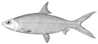 To NMNH Extant Collection (Chanos chanos P02240 illustration)