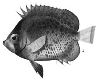 To NMNH Extant Collection (Chaetodon corallicola P02777 illustration)