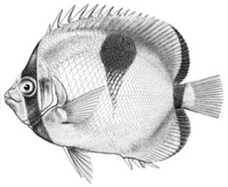 To NMNH Extant Collection (Chaetodon sphenosphilus P02843 illustration)
