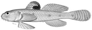 To NMNH Extant Collection (Chaeturichthys sciistius P02875 illustration)