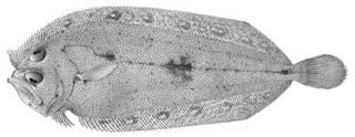 To NMNH Extant Collection (Chascanosetta prorigera P02903 illustration)