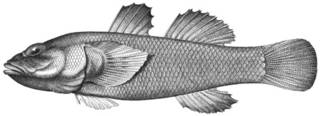 To NMNH Extant Collection (Chlamydes laticeps P03085 illustration)