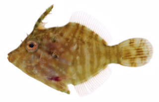To NMNH Extant Collection (Acreichthys radiatus USNM 375639 photograph lateral view)