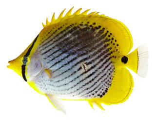 To NMNH Extant Collection (Chaetodon ocellicaudus USNM 375689 photograph lateral view)