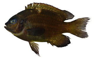 To NMNH Extant Collection (Dischistodus pseudochrysopoecilus USNM 370440 photograph lateral view)