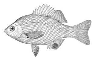 To NMNH Extant Collection (Abeona minima P00004 illustration)