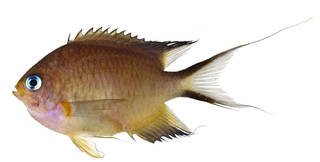 To NMNH Extant Collection (Chromis amboinensis USNM 370411 photograph lateral view)
