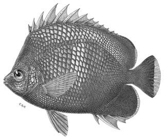 To NMNH Extant Collection (Chaetodon daedalma P15809 illustration)