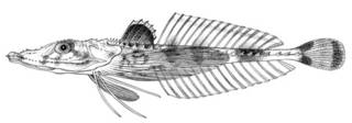 To NMNH Extant Collection (Acanthoplichthys pectoralis P00107 illustration)