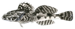 To NMNH Extant Collection (Alciclithys alcicornis P00186 illustration)