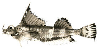 To NMNH Extant Collection (Agonomalus aiglifinus P00292 illustration)