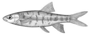 To NMNH Extant Collection (Agosia nubila P00299 illustration)