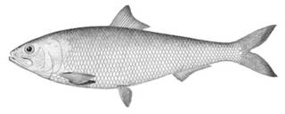 To NMNH Extant Collection (Alosa ohiensis P00362 illustration)