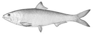 To NMNH Extant Collection (Alosa ohiensis P00364 illustration)