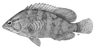 To NMNH Extant Collection (Alphestes fasciatus P00381 illustration)