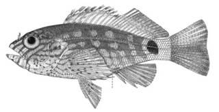 To NMNH Extant Collection (Amblycirrhitus hubbardi P00449 illustration)