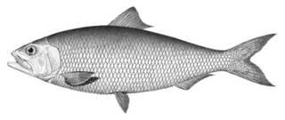 To NMNH Extant Collection (Alosa alabamae P01800 illustration)