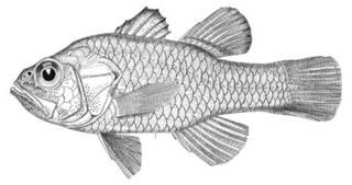 To NMNH Extant Collection (Amia albomarginata P08045 illustration)