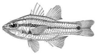To NMNH Extant Collection (Apogon angustata P09707 illustration)