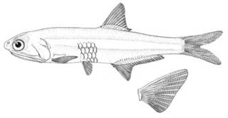 To NMNH Extant Collection (Anchoa cayorum P00605 illustration)