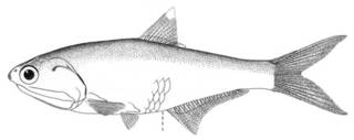 To NMNH Extant Collection (Anchovia nigra P00646 illustration)
