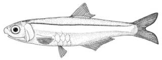 To NMNH Extant Collection (Anchoviella hubbsi P00656 illustration)